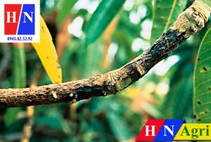 bệnh đốm đen vi khuẩn trên cành cây xoài