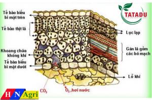 các lớp cấu tạo của lá cây